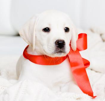 Labrador puppys.jpg