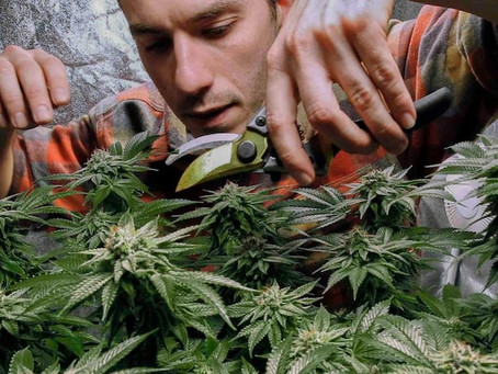 Legalising Marijuana: New York's New Law