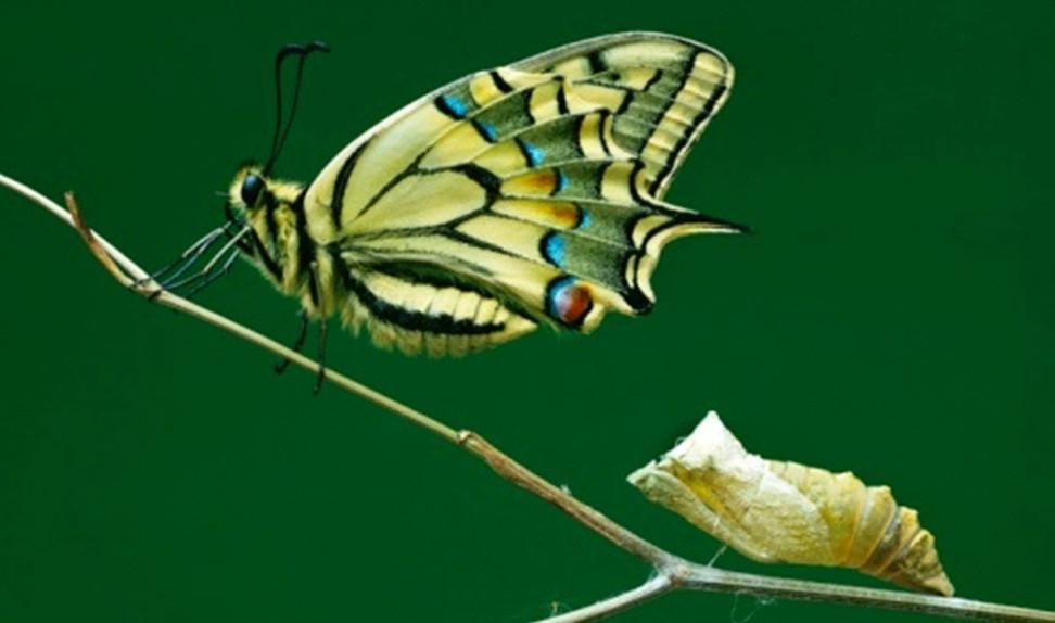 borboleta e casulo