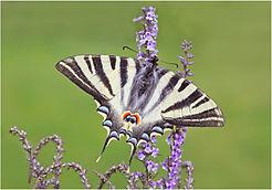 Scarce Swallowtail.JPG