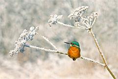 Kingfisher on frozen Parsley.JPG