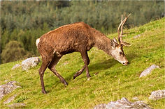Red Stag Grazing.JPG