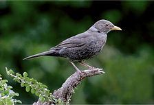Blackbird 9161.JPG
