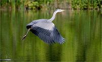 heron rising fron lake.JPG
