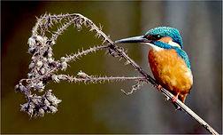 kingfisher on dead thistles.JPG
