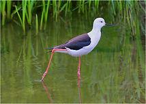 Black-winged Stilt wading.JPG