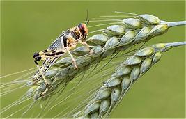 Locust 5.JPG