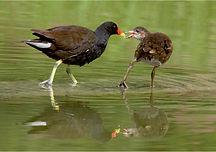 moorhen feeding chick.JPG