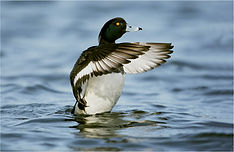 Tufted duck displaying.JPG