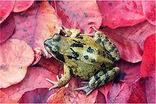 frog on red leaves.JPG