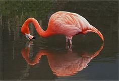Flamingo reflection web.JPG