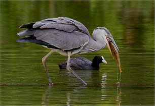 Heron fishing with coot watching.JPG