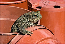 toad escaping from flower pot.JPG