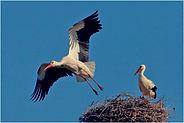 Stork take off.JPG
