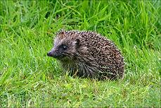 hedgehog in long grass.JPG