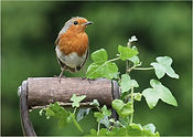 Robin 2018 May.JPG
