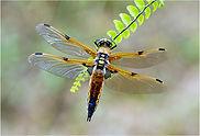 dragonfly on leaves.JPG
