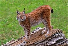 Lynx on tree.JPG