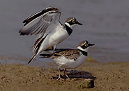 Little Ring Plover mating low res.JPG