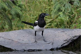 Magpie coming in to drink.JPG