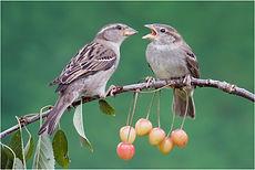Sparrow feeding young.JPG