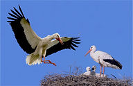 stork change over at nest good.JPG