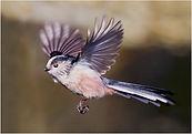 Long-tailed Tit in flight.JPG