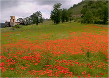 Spanish Poppy Field.JPG