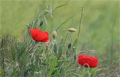 Two wild poppies.JPG