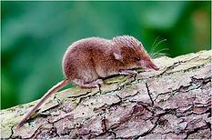 common shrew on log.JPG