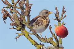 Fieldfare in apple tree.JPG