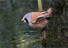 Bearded Tit coming into drink in reed bed.JPG
