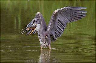 Grey Heron with catch in beak.JPG