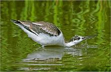 washing avocet bird.JPG