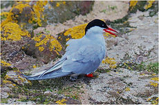Tern on rocks.JPG