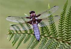 male Wide bodied Chaser (Libellula depressa).JPG
