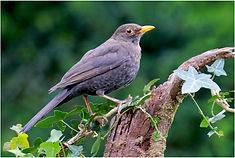 Blackbird on ivy.JPG