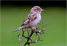 Sparrow on twigs .JPG