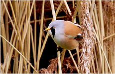 Bearded Tit collecting nesting material