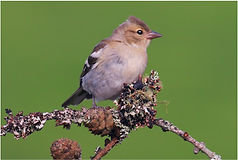 Young Chaffinch on mossy twiggs.JPG