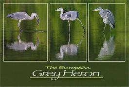 European Grey Herons with frames .JPG