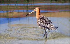Black tailed Godwit wading in lake.JPG