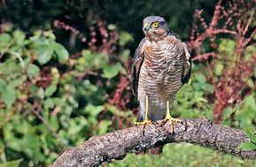 Sparrow Hawk at hide.JPG