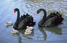 black swans .JPG