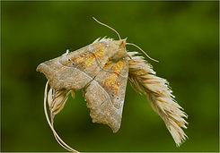 herald moth on dead grass.JPG