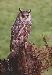 long eared owl in hedgerow.JPG