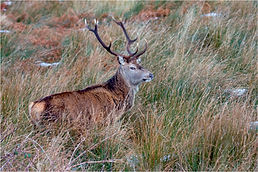 Stag in long grass.JPG
