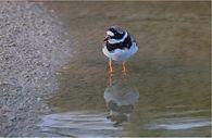 Ringed Plover wading in lake.JPG