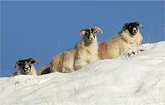 Sheep in snow drift.JPG