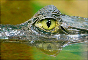 Criocodilles eye.JPG